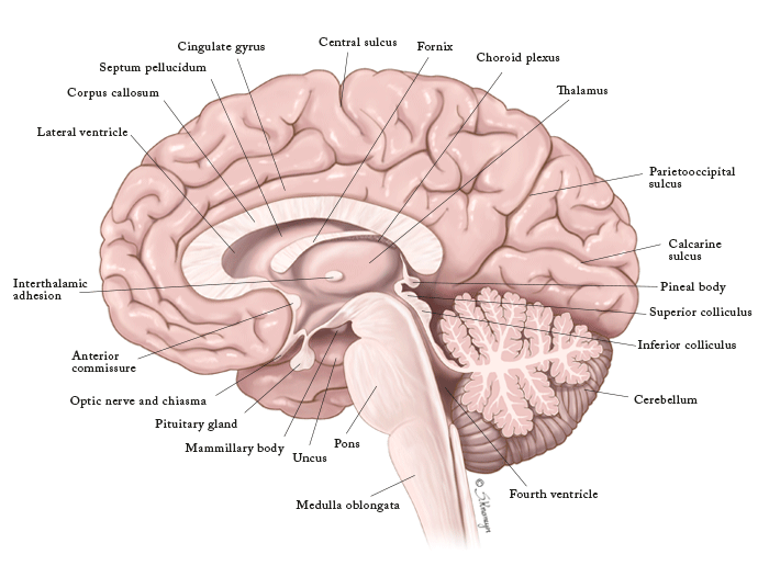 Mid-sagittal Section of the Brain