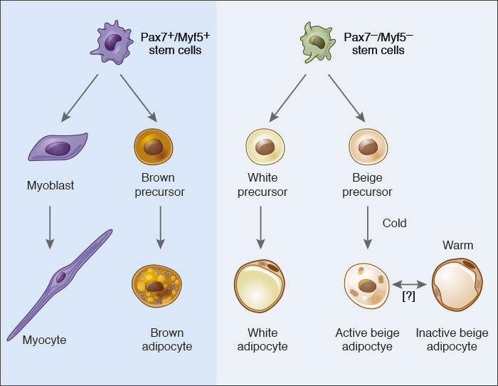 Adipocyte Differentiation