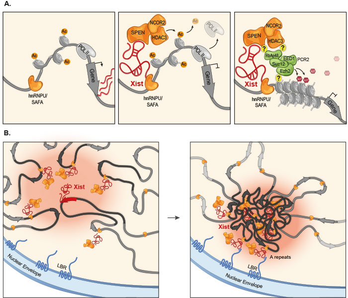 The Xist lncRNA silences transcription