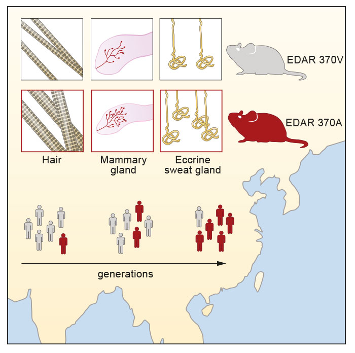 Expression of a Selected EDAR Variant – graphical abstract