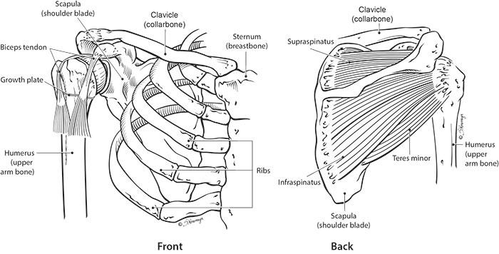 Rotator cuff anatomy