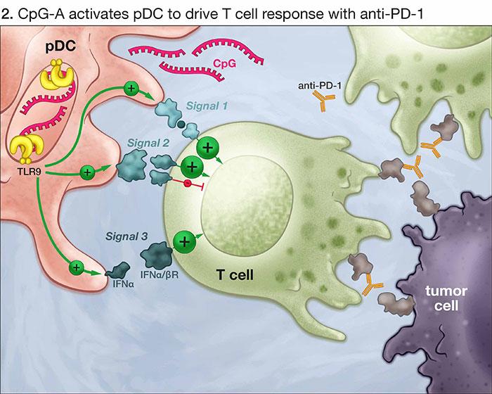 MOA for Immune Stimulatory CpG Oligonucleotides